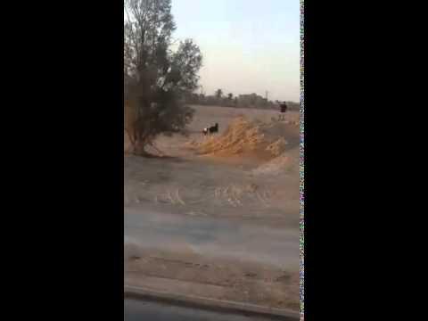 بالفيديو.. مطاردة مثيرة بين خمسة شبان و بقرة هائجة في السعودية