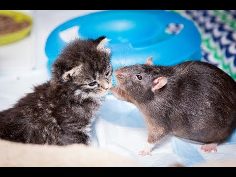 Brooklyn Cat Cafe Employs Rats To Care For Kittens | CUTE AS FLUFF - UC9LxuffQCm_Z4KBCoXZvSHA