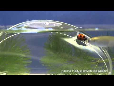Ladybird beetle walking underwater on upturned bowl.wmv