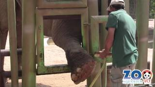 Los elefantes van al podólogo | Zoo Madrid