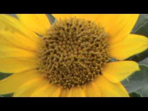 Sun flower or soraj mukhi,(Helianthus annuus)