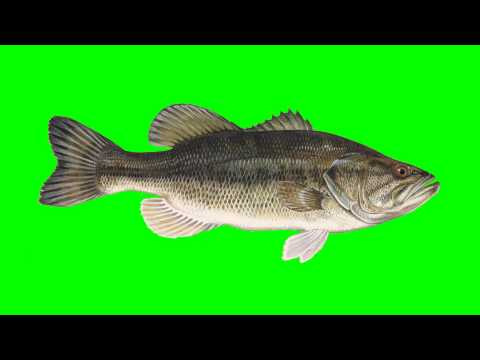 Sea Bass Fish Swiming - Free HD Green Screen Animation