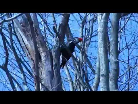 Pileated Woodpecker (Dryocpus pileatus) 2013