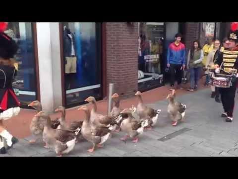 شاهد فيديو | قطيع أوز يسير كالجنود في شوارع هولندا