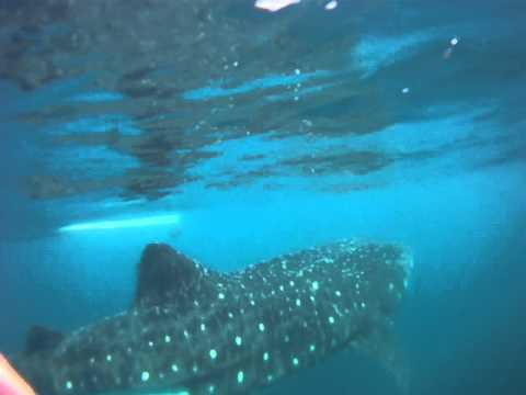 Whale Shark Video in Cabo Pulmo 4-30-11