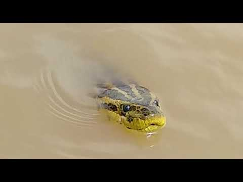 Registran en imágenes a una víbora de gran tamaño en Puerto Curtiembre