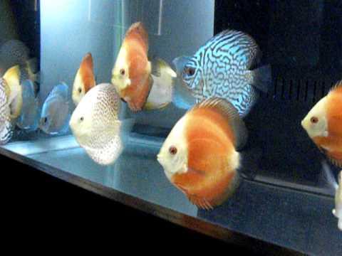 My Discus Fish (13 Perfect Around Discus Fish)