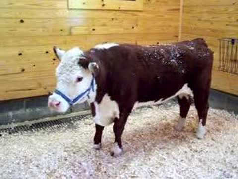 Another Cow Belts Out A Massive Moo