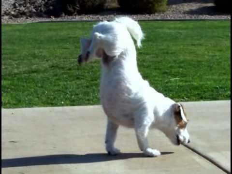 Walking Hand Stand Dog World-s Smartest Dog Jesse performs Amazing Dog Tricks