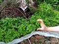Фрагмент с конца видео 🌱 Как я выращиваю картофель под соломой. Посадка картофеля ростками. #ненужноокучивать