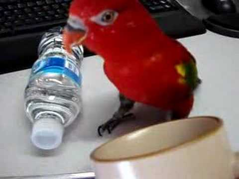"Bird tricks - ""drinks water"" - makes drinking sound"