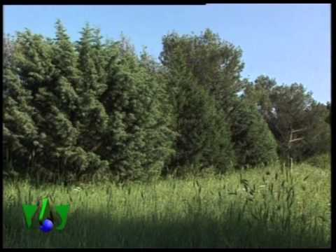 CODRA Mediterranea - CRISALIDE l'albero di avvistamento
