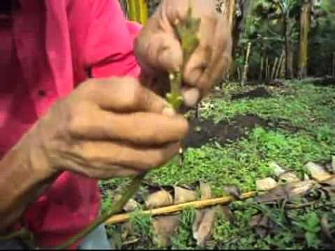 Como hacer un injerto de Planta