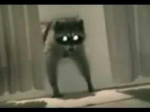 Najslađi lopov je rakun