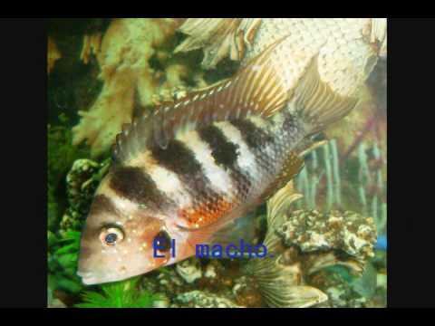 Reproducción del falso boca de fuego (Thorichthys maculipinnis).
