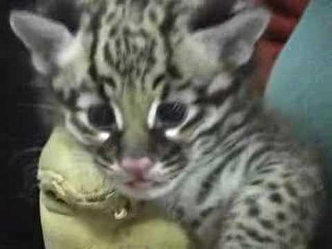 New Ocelot Kitten Health Check-Up