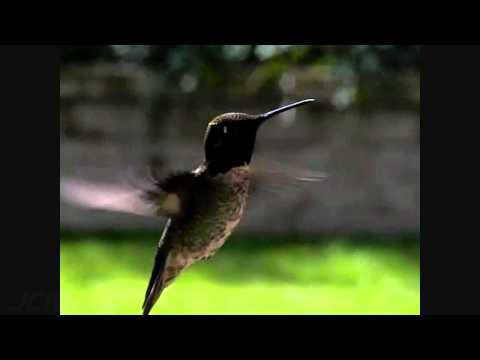 Cool slow motion male Anna's Hummingbird fly-in+hover 300fps(trimmed) V09075