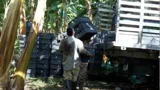 Agricultura Específica por Sitio - Plátano - Prácticas de manejo
