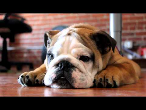 English Bulldog Make Funny Sounds