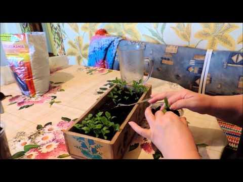Купить рассаду баклажан