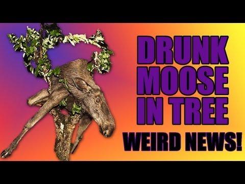 Weird News - DRUNK MOOSE! Weird News!