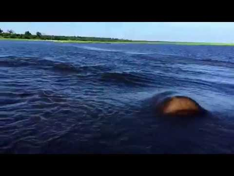 Hippo Charge on Chobe River Jan2015, recorded with iPhone 6;