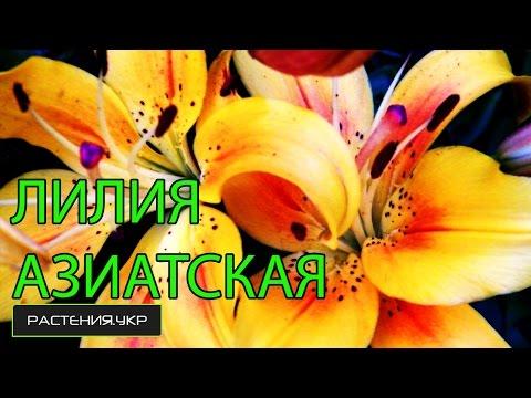 Луковицы Азиатских лилий