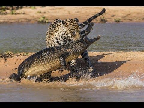 نمر الجاكور يفترس تمساح