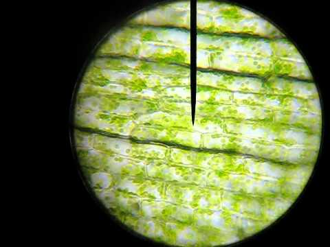 Elodea Cell Shape Elodea Cells