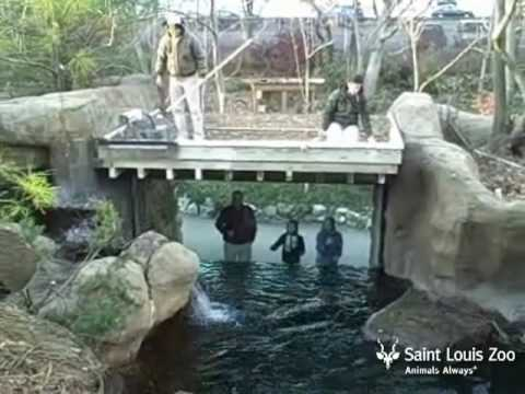 Otter training at Saint Louis Zoo