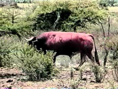 Nuestro toro de lidia 2