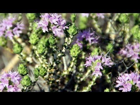 فوائد الزعتر لعلاج الكحة والبرد والحلق واللوزتين | وصفات أعشاب طبيعية