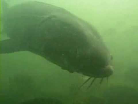 Encounter On Lake Mendota >> Video Looking In On Lake Monona Sturgeon Uw Madison Center For