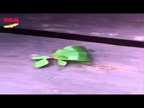 الحشرة الورقة  أغرب حشرة رأيتها في حياتي !!! سبحان من صورها