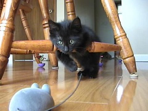 Kitten afraid of remote control mouse