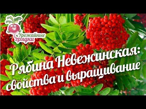 Купить саженцы рябины в Москве