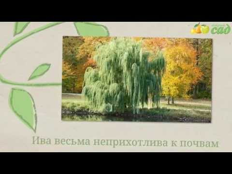 Купить саженцы ивы в Москве