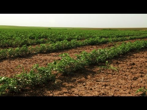 Stock Footage of bean plants planted in rows in Israel.