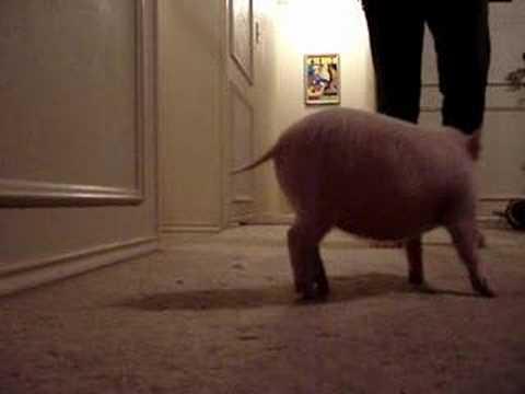 Teaching my piggy how to sit - SO CUTE!