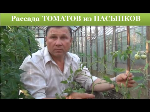 рассада помидор