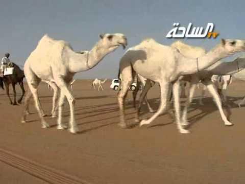 #جديد_الساحة 1436 | لهادات | منقية / أبناء عبدالعزيز الشهابي (رحمه الله)