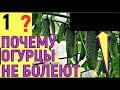 Фрагмент с начала видео НЕ ФОРМИРУЕМ ОГУРЦЫ ЧТО БУДЕТ ответы зрителям часть 2