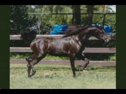 Borsalino Bey - Black Arabian Stallion