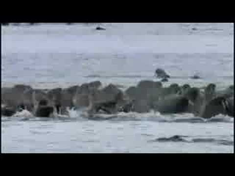 Polar bears VS Walrus