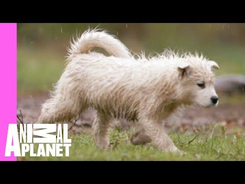 Playtime with Dad Equals Soggy Samoyeds   Too Cute!