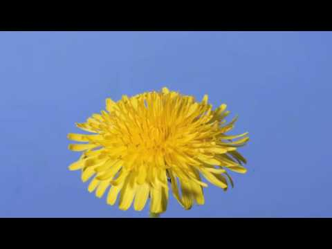 Time lapse Dandelion flower to seed head