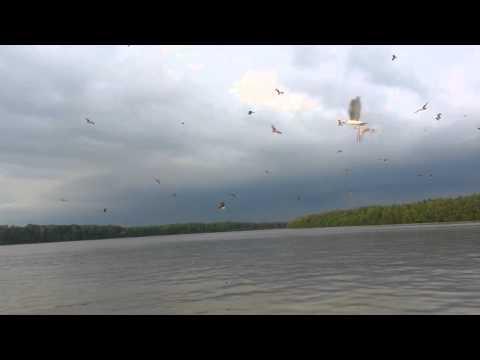 kuala selangor eagle tour