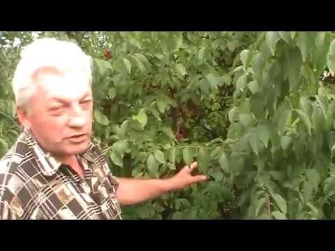Купить саженцы кизила