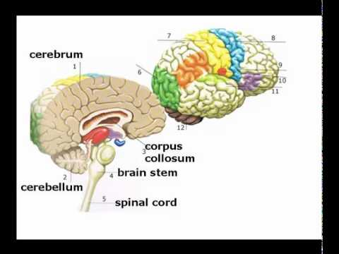 Introduction to Brain Structure and Function