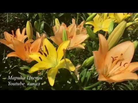 Луковицы восточных лилий
